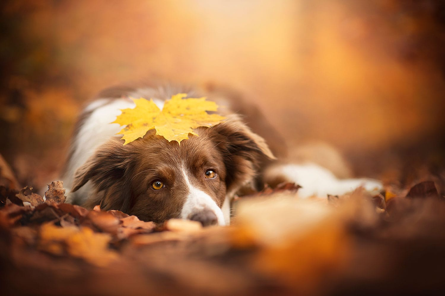 Border Collie mit Blatt am Kopf im Herbst_Workshop Coaching Bildbearbeitung Photoshop