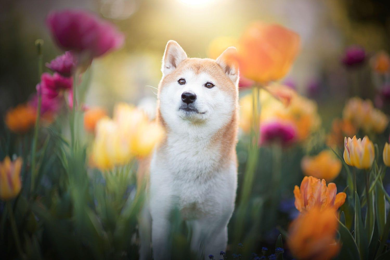 Shibad Inu in den Blumen_Hundefotosooting Angebot
