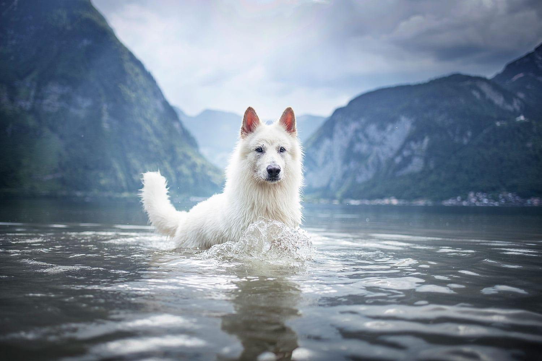 Schweizer weißer Schäferhund im Wasser_Hundefotoshooting-Österreich