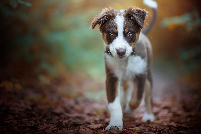 Australian Shepherd Welpe im Herbst_Angebot Welpenfotoshooting