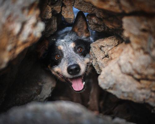 Australian Cattle Dog zwischen Felsen_Hundefotoshooting-Salzkammergut