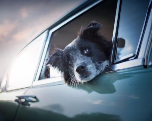 Hund blickt aus Oldtimer_Hundefotoshooting-Steiermark