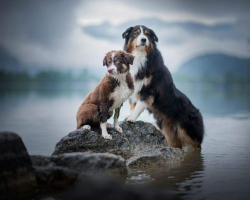 Hundefotoshooting am Hallstätter See im Salzkammergut mit den beiden Australian Shepherds Takoda und Chilli