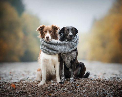 Niedliches Hundeportrait von Border Collie und Mischling_Hundefotoshooting mit zwei Hunden