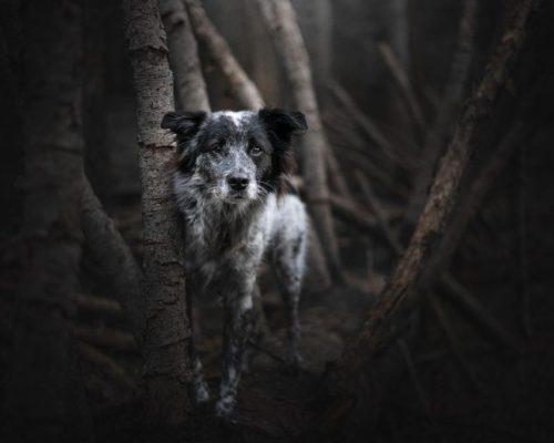 Hund posiert im Wald_Hundefotoshooting mit düsterer Stimmung im Wald