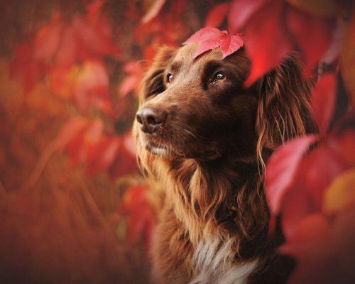 Hundefotografin fotografiert Hündin zwischen dem roten Wein im Herbst