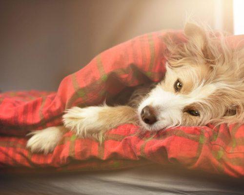 Hunde Saito kuschelt im Bett_Hundefotoshooting im eigenen Zuhause