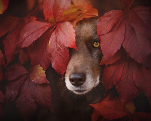 Hund posiert im Herbst zwischen den Blättern_Hundefotografin fängt stimmungsvolle Momente ein