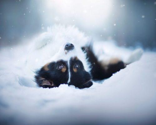Hund posiert liegend für die Hundefotografin im Schnee_Hundefotoshooting in Österreich im Winter