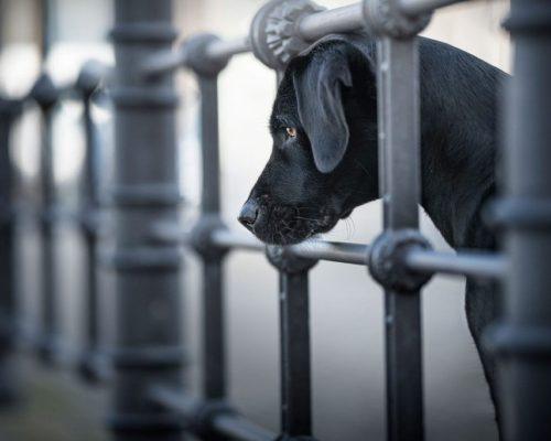 Hundefotoshooting in Berlin City mit der Labrador Hündin Lucy_Hundefotografin reist nach Berlin um dort Fotos zu machen