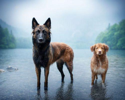 Belgischer Schäferhund und Nova Scotia Duck Tolling Retriever stehen im See und werden fotografiert_Hundefotografie Österreich