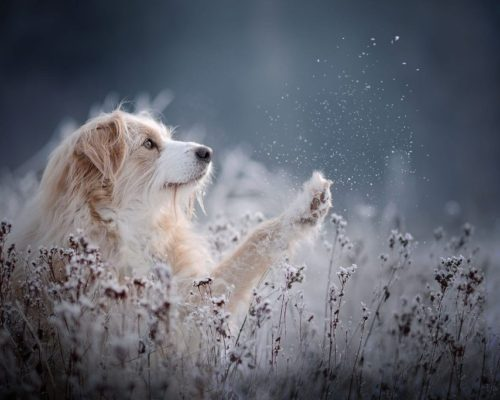 Saito_Hundefoto-im-Winter_HUndefotoshooting-im-Schnee