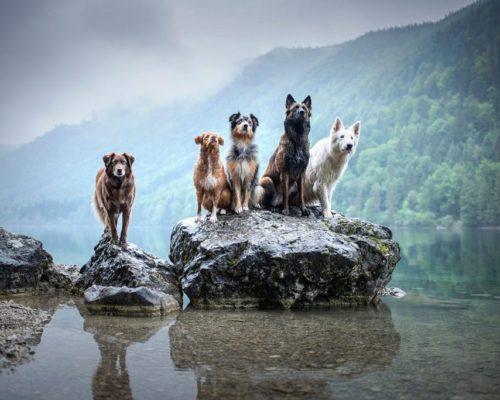 Fotoshooting mit 5 Hunden_Hundefotografin aus Österreich hält 5 Hunde am Langbathsee mit der Kamera fest