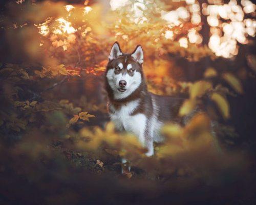 wunderschöner Husky Rüde posiert im Herbst vor der Kamera der Hundefotografin aus Österreich
