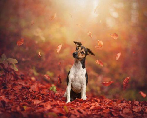 Hundefotoshooting in der bunten Jahreszeit_Hundefotgrafie fotografiert Hund unter fallenden Blättern