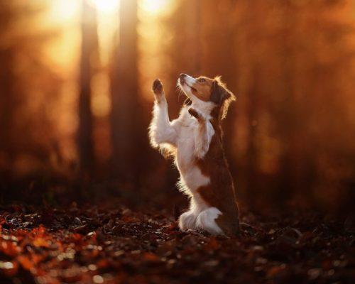 Hundefotoshooting im Herbst im Salzkammergut bei wunderschönem Licht_Kooikerhondje macht Tricks für Hundefotografin