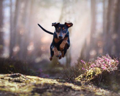 Hund läuft auf Fotografin beim Hundefotoshooing zu