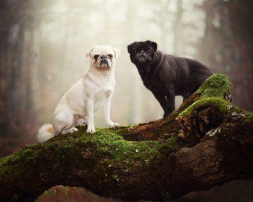 Zwei Möpse posieren auf einem Baumstamm für die Hundefotografin_Hundefotoshooting