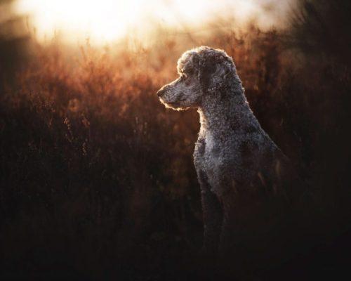 Pudel posiert im Gegenlicht in Berlin_Hundefotoshooting mit Anne Geier in Berlin