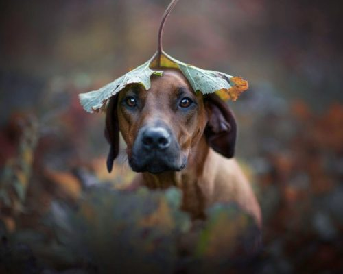 Rhodasian Ridgeback mit Blatt am Kopf_Hundefotoshooting Österreich