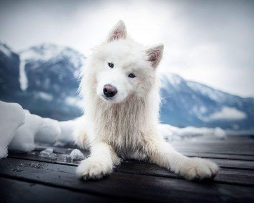 Samojede im Winter_Hundefotografie Österreich