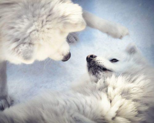 Zwei spielende Hunde_Hundefotografin Anne Geier