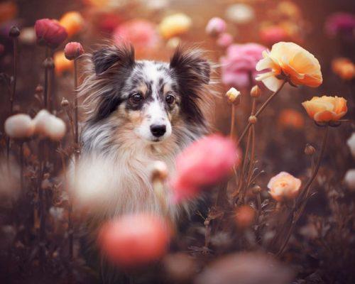 Sheltie im Frühling zwischen Blumen-Hundefotografie Graz