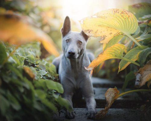 Thai Ridgeback posiert zwischen Blättern_Hundefotoshooting in Graz