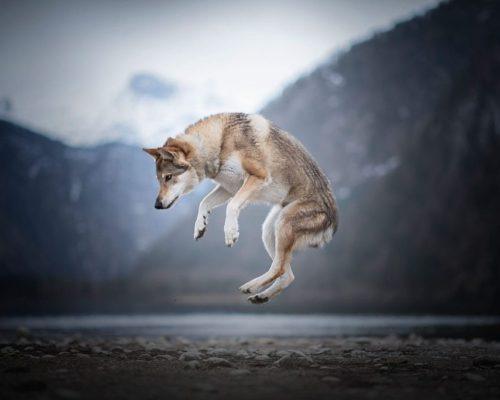 springender Hund zwischen den Bergen_Tierfotografie-Österreich